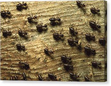 Termites On Wood With One Carrying Canvas Print by Konrad Wothe