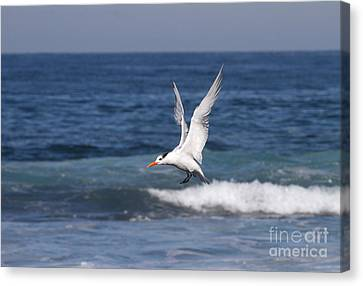 Tern In The Surf Canvas Print by Ruth Jolly