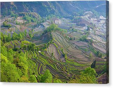 Terraced Rice Fields, Yuanyang, China Canvas Print