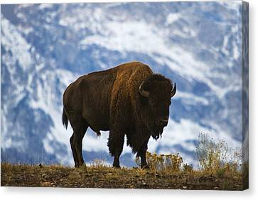 Teton Bison Canvas Print by Mark Kiver