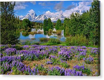 Teton Spring Lupines Canvas Print