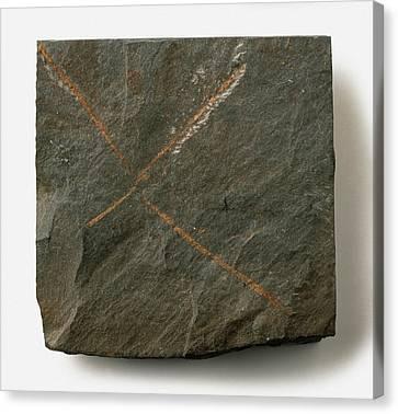 Tetragraptus Fossil Canvas Print by Dorling Kindersley/uig