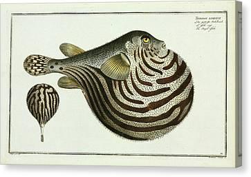 Tetrodon Lineatus (arothron Stellatus) Canvas Print by Natural History Museum, London