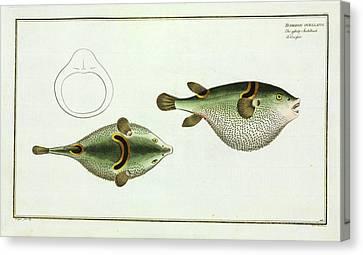 Tetrodon Ocellatus (takifugu Ocellatus) Canvas Print by Natural History Museum, London