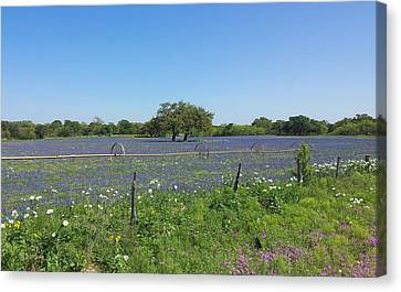 Shawn Marlow Canvas Print - Texas Blue Bonnets by Shawn Marlow
