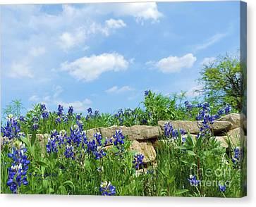 Texas Bluebonnets 08 Canvas Print by Robert ONeil