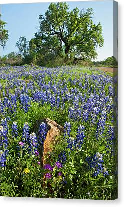 Texas Bluebonnets (lupinus Texensis Canvas Print by Larry Ditto