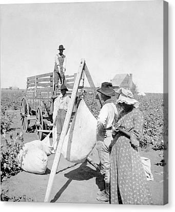Cotton Farm Canvas Print - Texas Cotton Field, C1904 by Granger