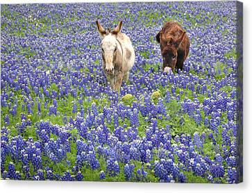 Canvas Print featuring the photograph Texas Donkeys And Bluebonnets - Texas Wildflowers Landscape by Jon Holiday