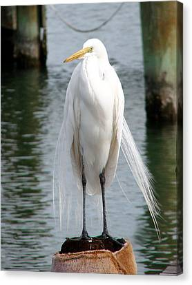 Texas Great White Egret Canvas Print by Linda Cox