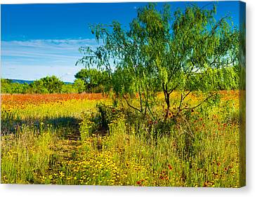 Texas Hill Country Wildflowers Canvas Print by Darryl Dalton