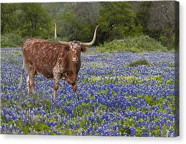 Texas Longhorn In Texas Bluebonnets 4 Canvas Print by Rob Greebon