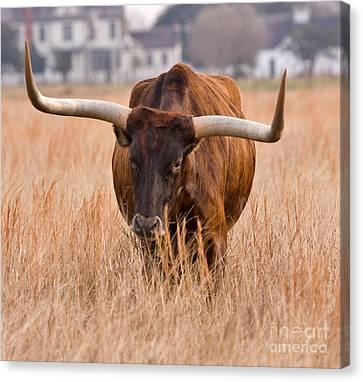 Texas Longhorn Canvas Print by Louise Heusinkveld