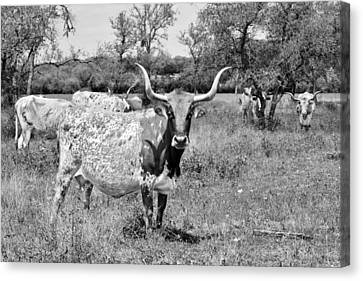 Longhorn Canvas Print - Texas Longhorns A Texas Icon by Christine Till