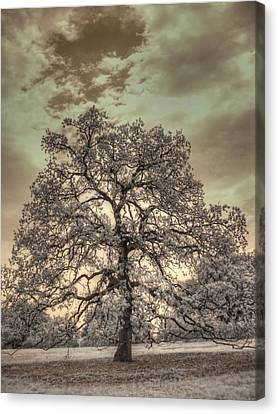 Texas Oak Tree Canvas Print by Jane Linders