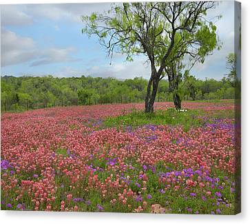 Texas Paintbrush And Pointed Phlox Canvas Print