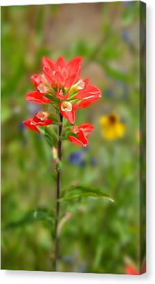 Texas Red Indian Paintbrush Canvas Print by Lynn Bauer