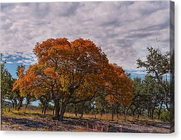 Texas Red Oak On Fire In The Hill Country - Fall Foliage Season In Central Texas Canvas Print by Silvio Ligutti