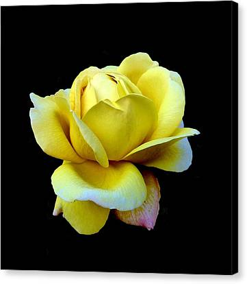 John Tidball Canvas Print - Texas Rose by Bishopston Fine Art