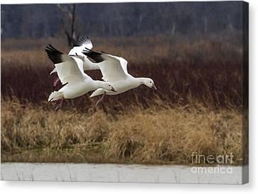 Texas Snow Geese Canvas Print