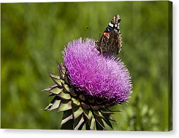 Texas Thistle And Butterfly Canvas Print