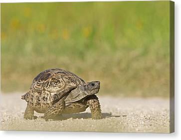 Texas Tortoise (gopherus Berlandieri Canvas Print by Larry Ditto