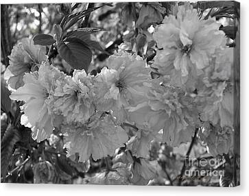 Textured Black And White Cherry Blossoms Canvas Print by Gena Weiser