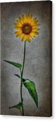 Textured Sunflower 1 Canvas Print by Lori Deiter