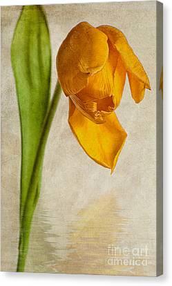Textured Tulip Canvas Print by John Edwards