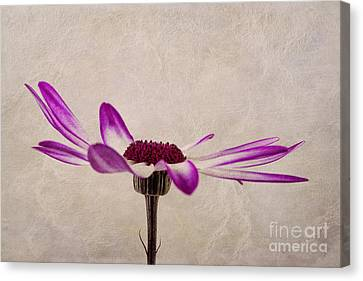 Texturised Senetti Pericallis Canvas Print by John Edwards