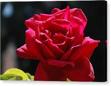 That Which We Call A Rose Canvas Print by Eric Tressler