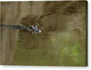 The American Alligator In The Flint River Canvas Print by Kim Pate