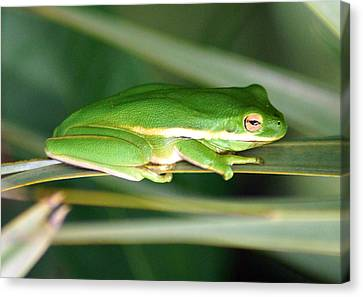 The American Green Tree Frog Canvas Print by Kim Pate
