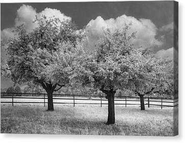The Apple Orchard Canvas Print by Debra and Dave Vanderlaan