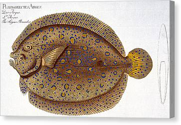 The Argus Flounder Canvas Print by Andreas Ludwig Kruger