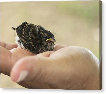 The Baby Wren Can't Fly Canvas Print by B Wayne Mullins