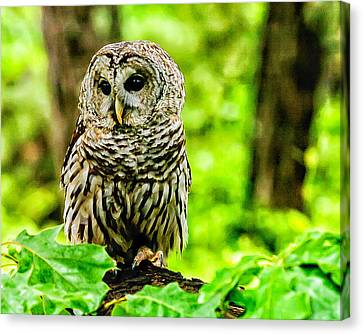 The Barred Owl Canvas Print by Louis Dallara