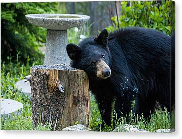 The Bear Cub With An Itch Canvas Print