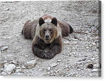 The Bear Resting Canvas Print by Goyo Ambrosio