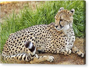 The Beautiful Cheetah Canvas Print
