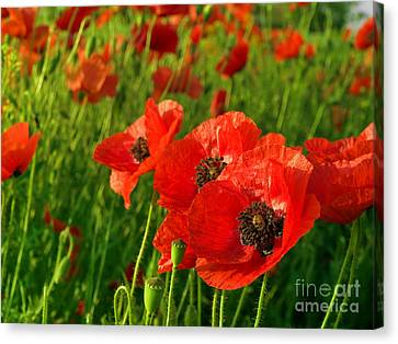The Beautiful Red Poppies Canvas Print by Boon Mee