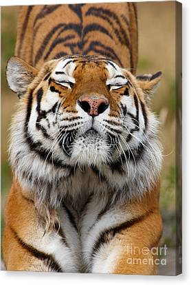 The Beautiful Siberian Tiger Canvas Print by Boon Mee