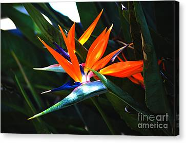 The Beauty Of A Bird Of Paradise Canvas Print by Susanne Van Hulst