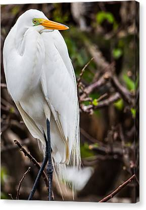 The Beauty Of A Great Egret Canvas Print
