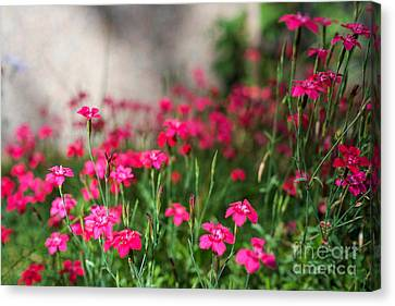The Beauty Of Maiden Pinks Canvas Print