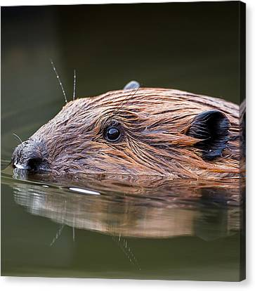 The Beaver Square Canvas Print
