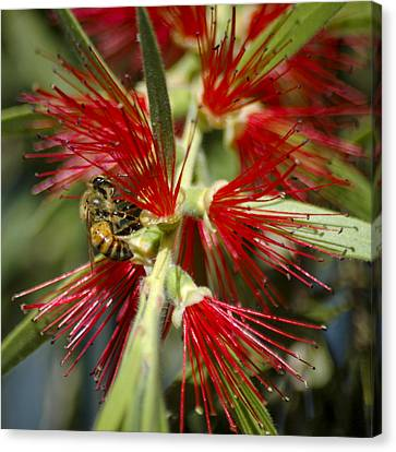 The Bee And Bottlebrush Canvas Print by Carolyn Marshall