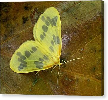 The Beggar Moth Canvas Print by William Tanneberger