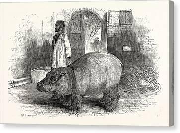 The Behemoth, Or Hippopotamus Canvas Print by English School