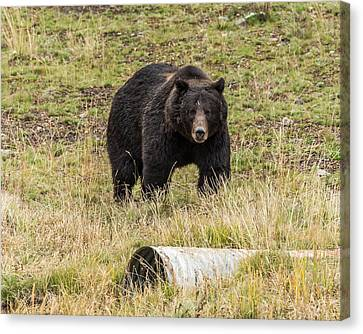 Canvas Print featuring the photograph The Big Black Grizzly Boar by Yeates Photography